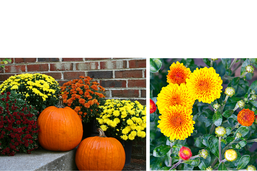 Flowers to plant in fall and winter. A list of flowers for the garden to provide you with color and texture through the cold winter months